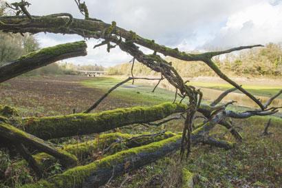 arbres morts et moussus en bord de Rance